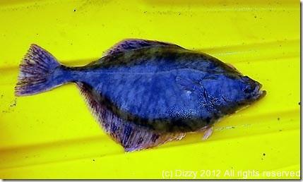 Kayak caught flounder